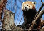 Roter Panda noch frecher