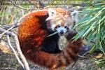 Roter Panda schmatzt