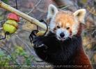 Roter Panda und sein Früchtemix