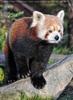 Roter Panda sonnt sich