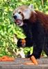 Roter Panda speist 01