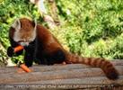 Roter Panda speist 02