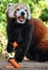 Roter Panda speist 03
