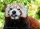 Roter Panda speist 04