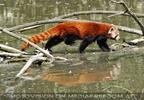 Roter Panda Wasserweg