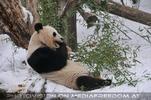 Panda Mahl