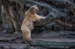 Spielender Capucciono Bär