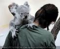 Koala Klammerung