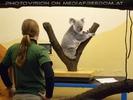 Koala Wiege