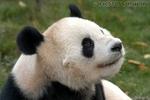 Lichtblick - Panda