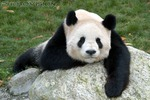 Panda Langeweile