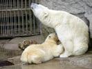 Eisbär Family