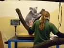 Koala auf der Waage