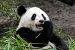 Überraschter Pandabär