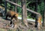 Wandernder Braunbär