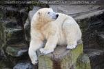 Wartender Eisbär