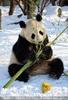 Große Panda Mahlzeit 10