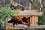 Zwei rote Pandas gemeinsam
