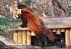Zwei rote Pandas