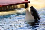 Orca (Schwertwal)