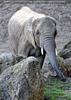 Afrikanische Elefanten 01