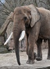 Afrikanische Elefanten 05