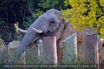 Elefant beim suchen