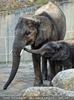 Elefant rüsselt