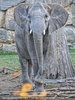 Elefantendame