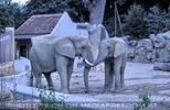 Elefantenpaar 1