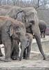 Indische Elefanten 1