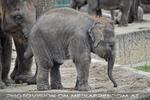 Indische Elefanten 2