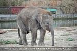 Indische Elefanten 3