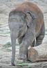 Indische Elefanten 4