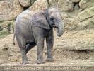 Junger Elefant 1