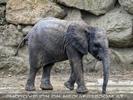Junger Elefant 2