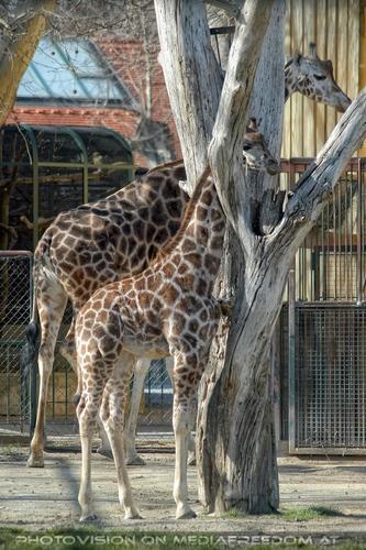 Giraffen Familie