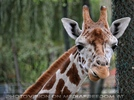 Giraffen 03