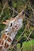 Giraffen 04