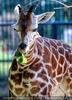 Giraffen 5