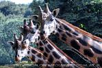 Giraffen 4