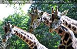 Giraffen 3