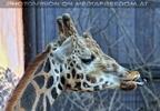 Giraffe züngelt
