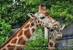 Giraffen 02
