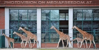 Giraffen 1