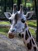 Giraffen Fütterung 04
