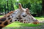 Giraffen Herde 8