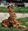 Giraffen Junges