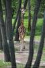 Giraffen Kind
