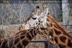 Giraffen Paar